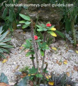 Crown of thorns plant with small red flowers grwoing in the ground.