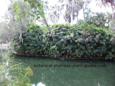 A lady palm hedge at Bok Tower Gardens.