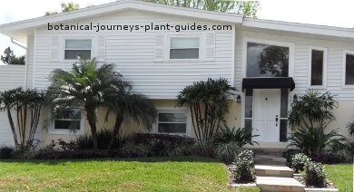 Clumps of nealtly trimmed Rhapis palms share a front yard landscape with a pair of dwarf dates.