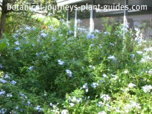 Large, 4 foot by 8 foot blue plumbago plant growing outside our screen porch.