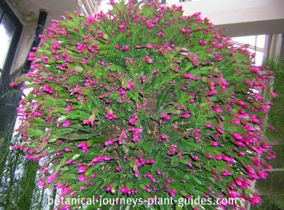 Christmas cactus hanging ball in bud at Longwood Gardens PA.
