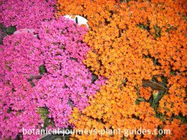Pink and orange Kalanchoe plants in full bloom.