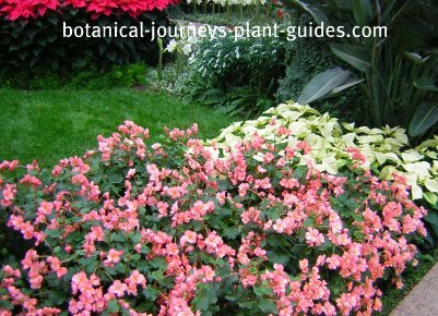 Pink flowered wax begonias bedded out at Longwood Gardens PA.